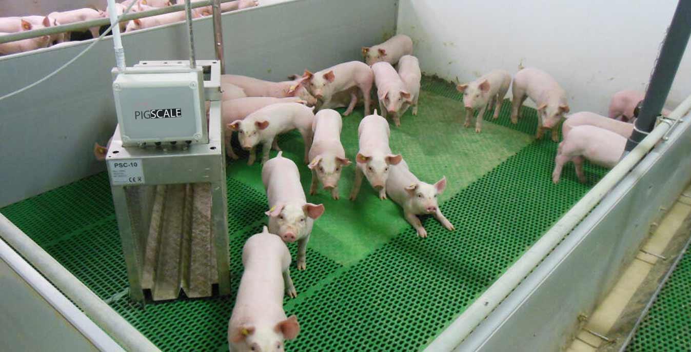 pig growth chart